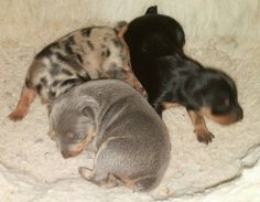 8 days old. Blue and Tan, Black and Tan and a Harlequin Pinscher. -- My girl is a blue and tan similar to that! Maybe one day she will have a harlie buddy :)
