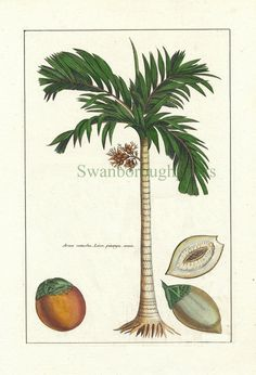 Palm Tree - Print of Palm Tree - Coconut - Natural History Art Print - Coastal Home Decor - Antique Illustration via Etsy