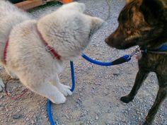 Kai ken meets Akita #dog