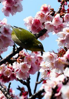 見ごろを迎えたヒカンザクラの蜜を吸うメジロ=那智勝浦町の「道の駅なち」  和歌山)早咲きのヒカンザクラが見ごろ、立春の日