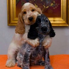 14 Adorable Facts About English Cocker Spaniels English Cocker Spaniel Puppies, English Spaniel, Sprocker Spaniel Puppies, Cocker Dog, Cute Dogs Breeds, Dog Breeds, Funny Dog Videos, Funny Dogs, Cute Puppies