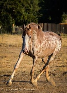 'Gigi', the American Saddlebred mare with unique appaloosa coloration! Horses And Dogs, Cute Horses, Horse Love, Paint Horse, Horse Markings, American Saddlebred, Appaloosa Horses, Most Beautiful Animals, All The Pretty Horses