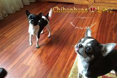 chihuahuas desparasitados en casa