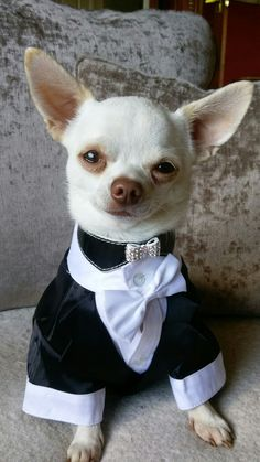 Join us on facebook Jamie a little white chihuahua ❤❤