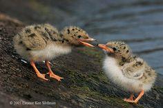 Common tern chicks! US threatened