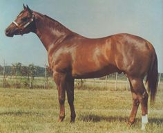 Skipa Star, 1973, by Skipper's Lad, out of Pat's Dusty Star, by Barry Pat Star. 2nd dam, Martin's Sun Tan, by Little Rondo A. 3rd dam, Winsome Lady, by Bennie (by Daedalus, US Remount TB). 4th dam, M's Grey Lady, by Oklahoma Star. World Champion Two-Year-Old Stallion (halter). Sire of 915 AQHA foals, 392 performers. Photo by Darol Dickinson.