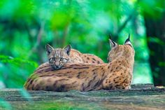 A cute scene: the mother lynx with her baby on top. Sadly they were quite far away and it was dark. Eurasian Lynx, Lynx Lynx, Lion Images, Exotic Cats, Cheetahs, Pumas, Leopards, Mom And Baby, Big Cats
