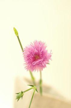 ナデシコ ダブルエレガンスピンクhttp://hanaya87.com/library/flower/flmt445