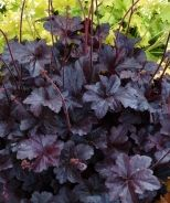 Obsidian Coral Bells Stunningly black, shiny, rounded leaves hold their color all season. Compact mounding form offers great opportunities in small urban gardens. Plant in groups or masses to intensify effect. Attention getter in pots with high contrast companions.