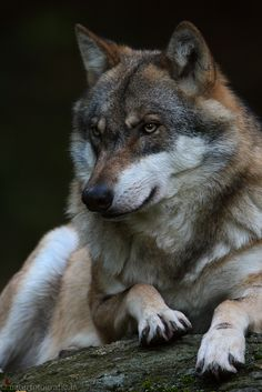 Beautiful Wolves, Animals Beautiful, Cute Animals, Raven And Wolf, Wolf Love, Wolf Husky, Wolf Pup, Wolf Photos, Wolf Pictures