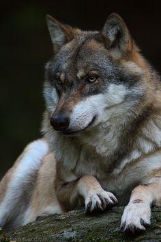 Beautiful Wolves, Animals Beautiful, Cute Animals, Wolf Husky, Wolf Pup, Wolf Photos, Wolf Pictures, Wolf Spirit, Spirit Animal