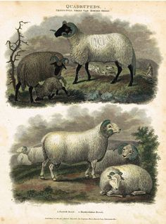 "Antique Animal - Edwards's Quadrepeds - ""GENUS OVIS - HORNED SHEEP"" - Hand Colored Engraving - 1807"