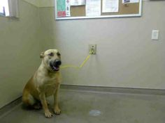 *HOODLUM - ID#A717587  Shelter staff named me HOODLUM.  I am a male, brown and black German Shepherd Dog mix.  The shelter staff think I am about 3 years old.  I have been at the shelter since May 22, 2013.