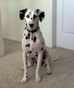 Henry Keller, the Dalmatian. (Photo courtesy of Mari Rodriguez) Deaf Dog, Adoption Stories, Dalmatian Dogs, Dog Photos, All Dogs, Dog Owners, Puppy Love, Doggies, Dog Breeds
