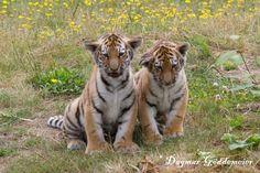 Save The Tiger, Bengal Tiger, My Favorite Image, Animals Beautiful, Habitats, Baby Animals, Creatures, Big, Color