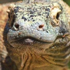 Komodo Dragon; Jacksonville, FL