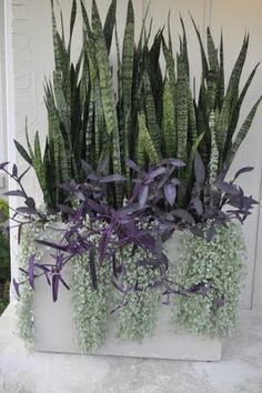 Thinking Outside The Boxwood...mother-in-law tongue w/purple heart & dichondra 'Silver Falls.' I'd leave out the dichondra and let the purple heart take over.