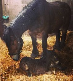 The #birth of a new #life is truly #wonderful. #foal #newborn #horse