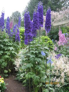 tall blue Delphiniums--one perennial ever garden should have