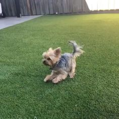 Show me your moves Source by WoofAdvisor The post Show me your moves appeared first on Calvert Kennels. Cute Puppy Breeds, Cute Dogs And Puppies, Dog Breeds, Yorky Terrier, Yorshire Terrier, Perros Yorkshire Terrier, Yorkie Haircuts, Shotting Photo, Yorkie Puppy