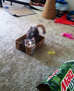 4 month old Wrigley playing with her box.