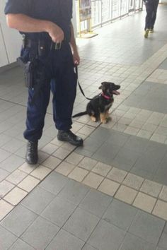 The world's smallest Police dog? He looks like an Alsatian in miniature. #smalldog #policedog