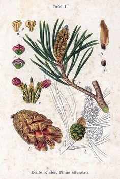 """Résultat de recherche d'images pour """"illustrations botaniques anciennes sapin"""""""