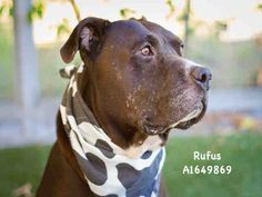 RUFUS is an adoptable Pit Bull Terrier searching for a forever family near Los Angeles, CA. Use Petfinder to find adoptable pets in your area.