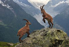 Mountain Ibex - Chamonix, French Alps