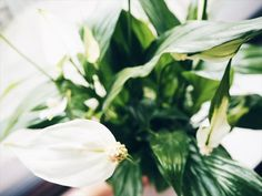 Japanese Peace Lily, KEYELL - Lifestyle and Travel blog