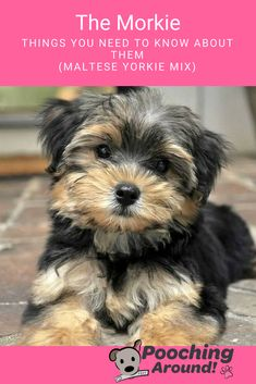 Maltese yorkie mix - The Morkie Things You Need to Know About Them (Maltese Yorkie mix) poochingaround maltese yorkie morkie Maltese Yorkie Mix, Morkie Puppies For Sale, I Love Dogs, Cute Dogs, Top Dog Breeds, Lap Dogs, Training Your Dog, Little Dogs, Yorkshire Terrier