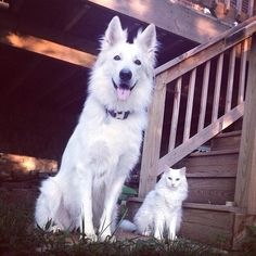 A beautiful swiss and her accomplice White german shepherd dog swiss shepherd berger suisse blanc