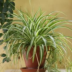 Easy Care Plants: Spider Plants and Exotic Ferns