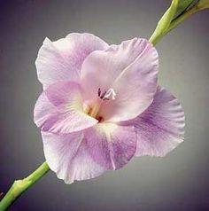gladiolus - Tìm với Google