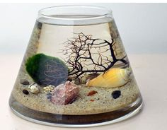 Marimo Terrarium - Japanese Moss Ball Aquarium - Trapez glass vase