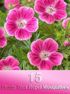 15 Plants That Repel Mosquitoes