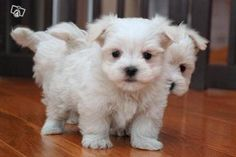 Gots to get me a maltese like dis waaan, im maltese and i want to maltese puppy to cuddle wifffff Baby Maltese, Teacup Maltese, Maltese Puppies, Dogs And Puppies, Love Pet, I Love Dogs, Puppy Love, Cute Dogs, Baby Animals