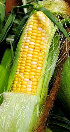 Nothing like a fresh ear of corn right off the stalk...the sweetness oh I can taste it in my mind.