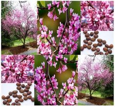 MySeeds.Co - Eastern Redbud Tree Seeds - Cercis canadensis - GORGEOUS PURPLISH-PINK BLOSSOMS -…