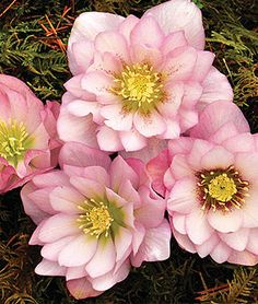 Garden Planning 'Cotton Candy' Hellebore features fluffy, double blooms of soft silvery pink. - 'Cotton Candy' Hellebore features fluffy, double blooms of soft silvery pink. Shade Perennials, Shade Plants, Flowers Perennials, Shade Garden, Garden Plants, Gardening Vegetables, Amazing Flowers, Beautiful Flowers, Lenten Rose