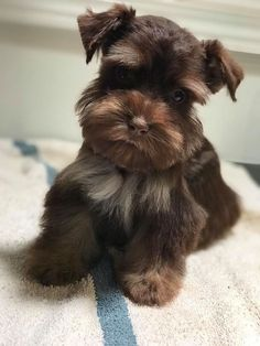 Ranked as one of the most popular dog breeds in the world, the Miniature Schnauzer is a cute little square faced furry coat. Schnauzer Grooming, Miniature Schnauzer Puppies, Schnauzer Puppy, Schnauzers, Fox Terriers, Cute Puppies, Dogs And Puppies, Doggies, Cute Dogs Breeds