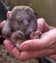 Four puggles have been born at Currumbin Wildlife Sanctuary in an effort to save the long-beaked echidna.