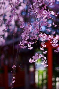 しだれ桜 by Yuuko Nishiwaki on 500px