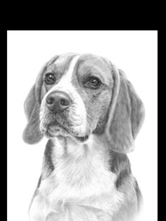 Beagle pencil drawing