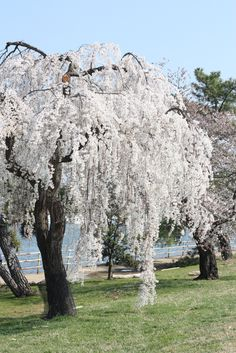 A Very White Weeping Cherry Tree Flowering In Spring
