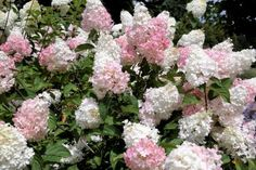 Red Shrubs, Flowering Shrubs, Smooth Hydrangea, Hydrangea Not Blooming, Climbing Hydrangea, Climbing Vines, Allium Globemaster, Front Door Plants, Rosen Beet