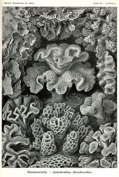 Ernst Haeckel Sea Coral Scientific Illustration, Black and White Print, Prints and Posters, Plate 69 from Art Forms in Nature Art Prints, Poster Prints, Illustration, Nature Illustration, Scientific Illustration, Natural Form Art, Art Forms, Nature Art, Art