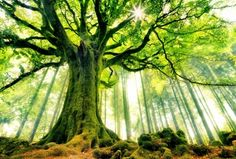 Ponthus Beech tree in Brocéliande Forest. Bretagne, France - 39 Awesome Nature Photos Of Incredible Places World's Most Beautiful, Beautiful World, Beautiful Places, Beautiful Pictures, Beautiful Forest, Amazing Places, Epic Pictures, Forest Pictures, Epic Photos