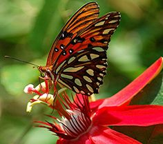 A glorious Passion Flower and a brilliant stained-glass butterfly... a Gulf Fritillary