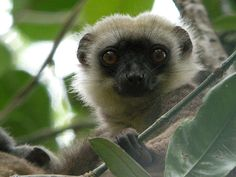 Madagascar, White-headed Lemur, awesome animals, lemurs.